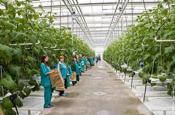 человека средним выращивание огурцов в теплице рентабельность тренажеры для