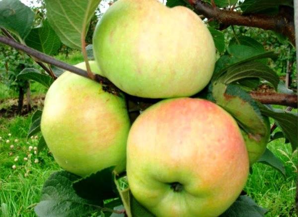 Сортовые характеристики высокоиммунной яблони Имрус